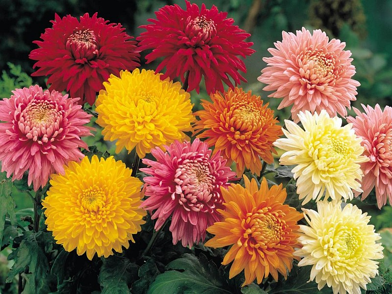 Хризантема (Dendranthema / Chrysanthemum)