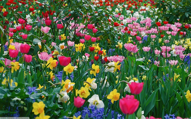 Разцъфнали пролетни цветя...