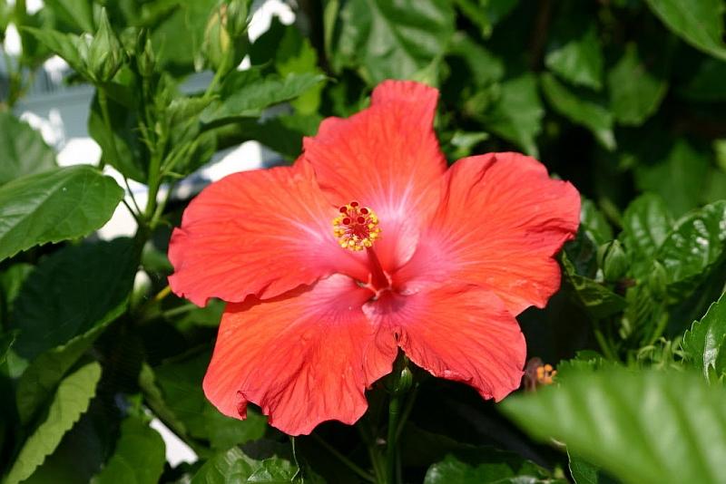 Хибискус (Hibiscus)...