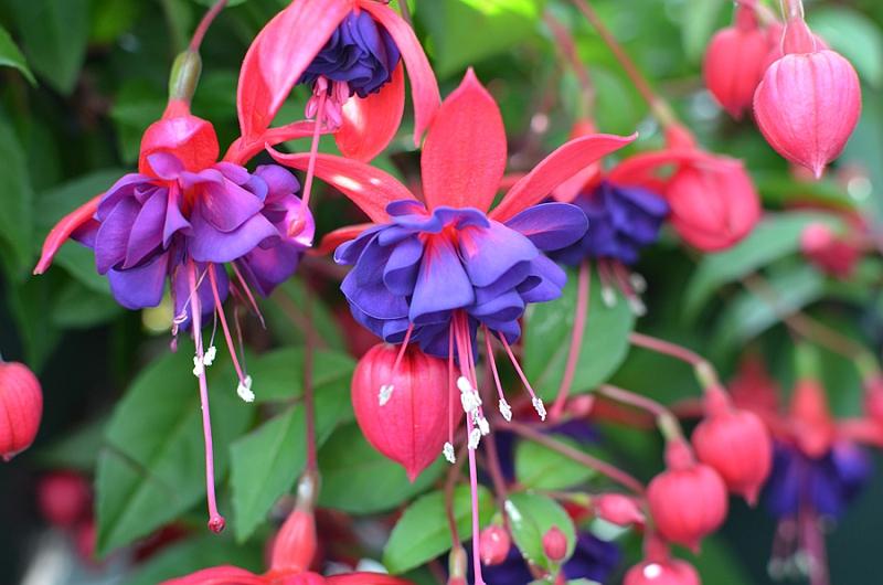 Фуксия/ Обичка (Fuchsia)
