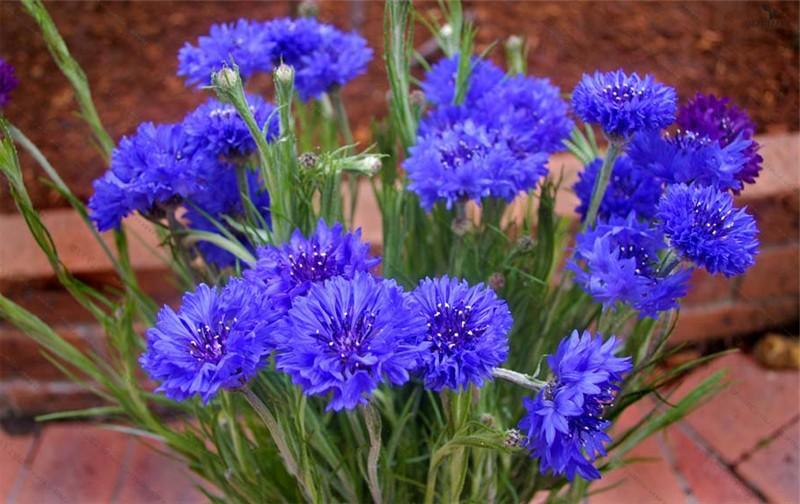 Синя метличина (Centaurea)...