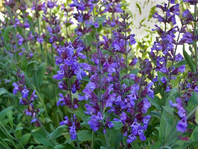 Градински чай / Салвия (Salvia Officinalis)...