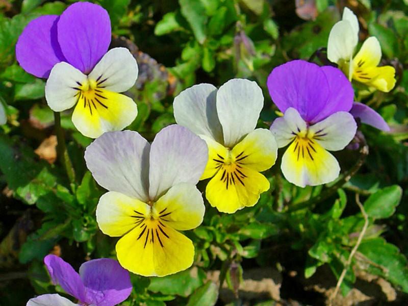 Трицветна градинска теменужка (Viola tricolor)...