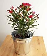 Олеандър (Oleander)...