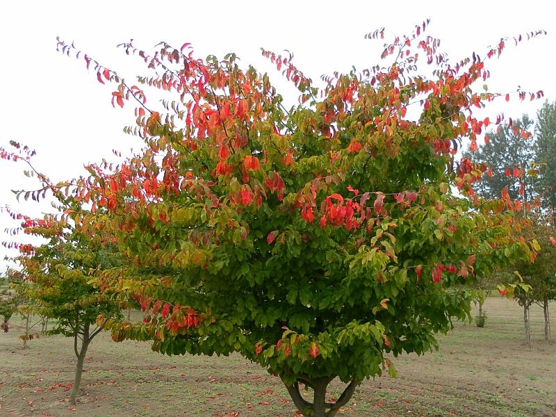 Паротия персика (Parrotia persica)...