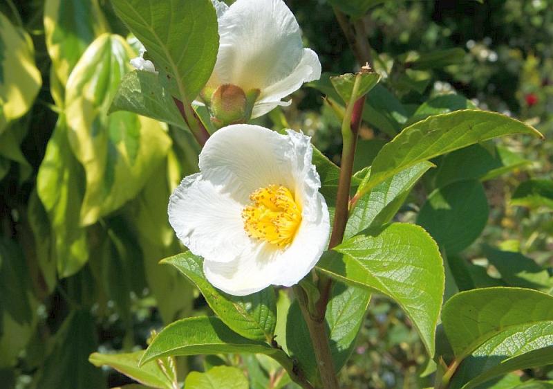 Псевдо камелия стюартия (Stewartia pseudocamellia)...