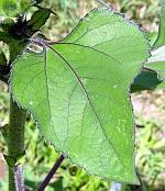 Листо на слънчоглед... (Helianthus leaf)