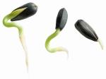 Слънчогледова ядка... (Helianthus seed)