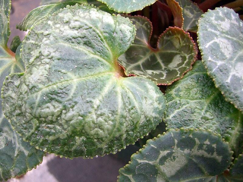 Цикламен акар (Tarsonemus pallidus)...