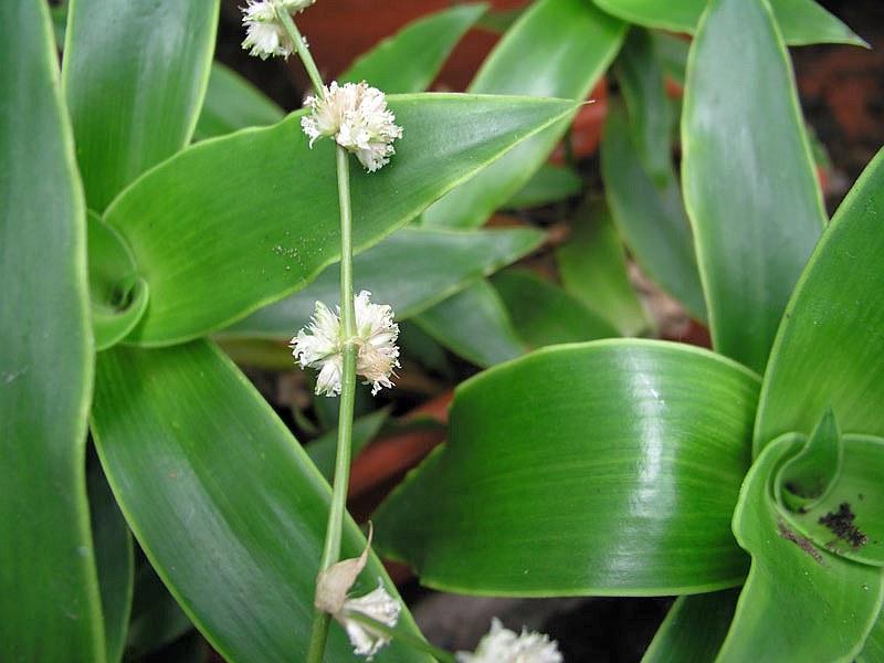 Ароматна кализия (Callisia fragans)...