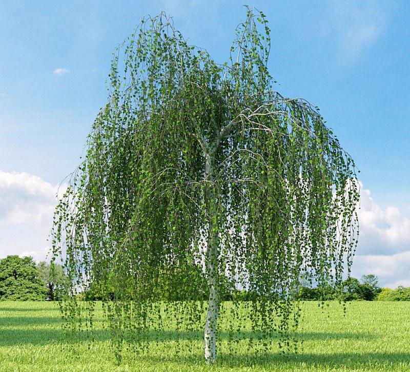 Плачеща бреза (Betula pendula)...