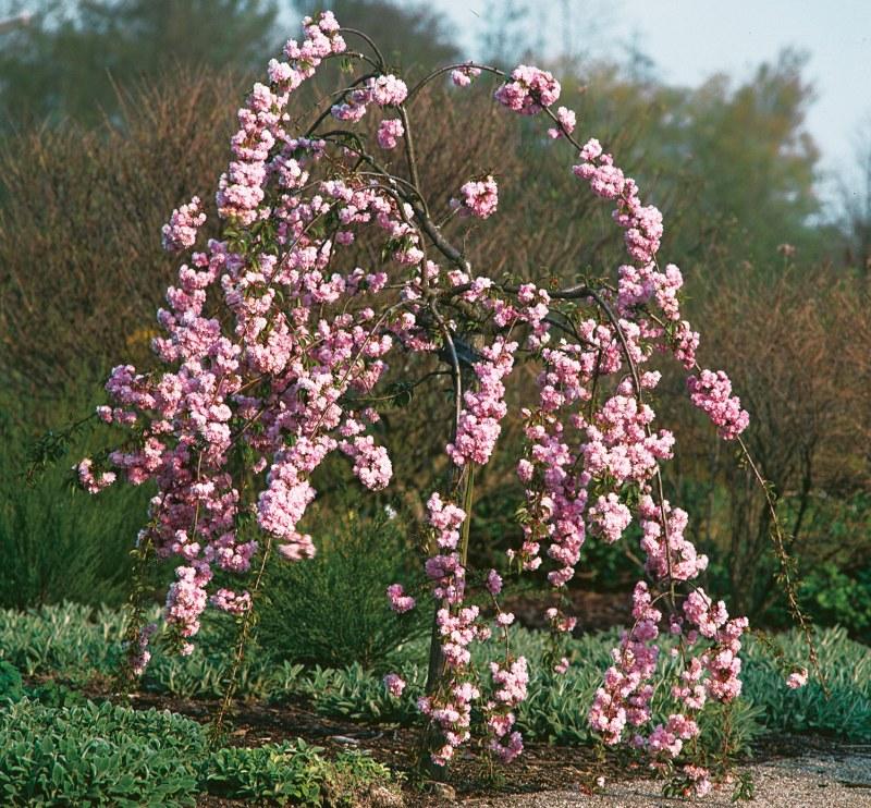 Японска вишна (Prunus serrulata)...