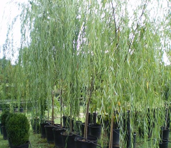 Плачеща върба (Salix babylonica)...