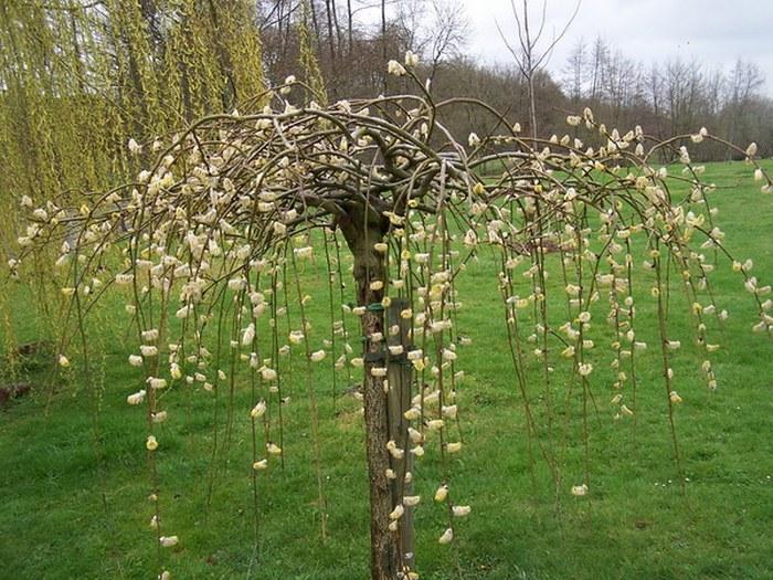 Мини върба (Salix caprea)...