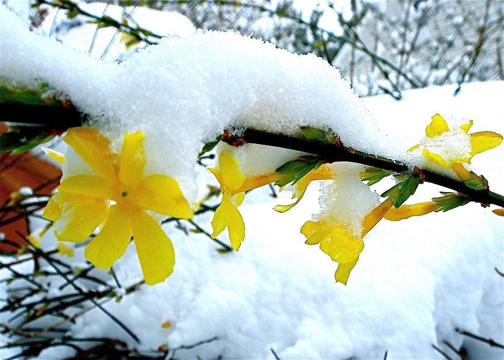 Зимен жасмин (Jasminum nudiflorum)...