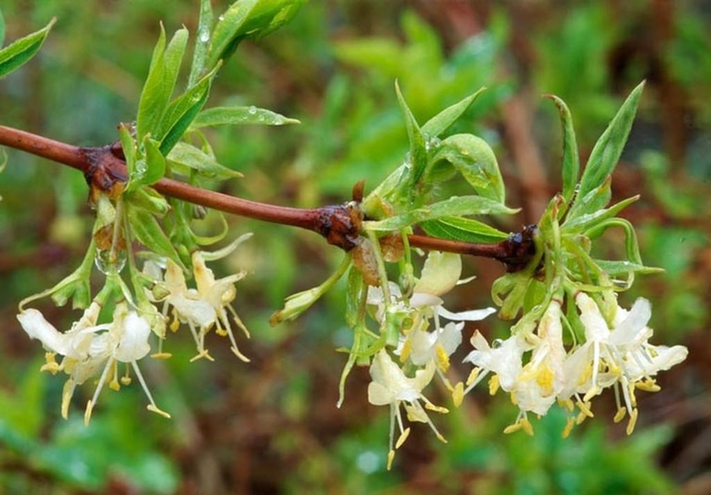Лоницера фрагрантисима (Lonicera fragrantissima)...