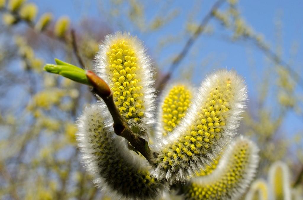 Присадната плачеща върба (Salix Caprea kilmarnock)...