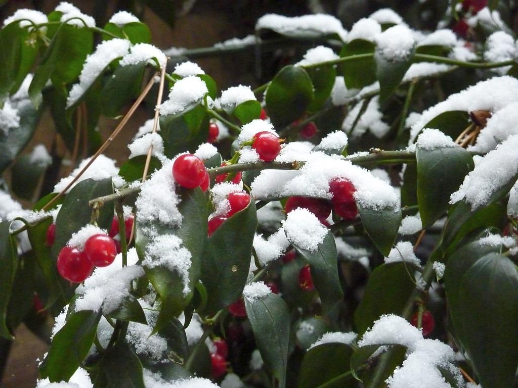 Коледен чемшир (Sarcococca)...