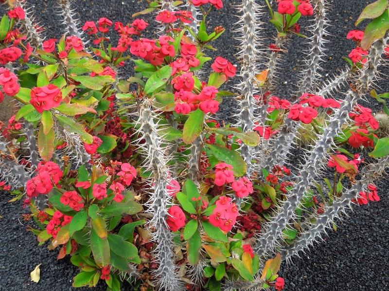 Исусов венец (Euphorbia milii)...