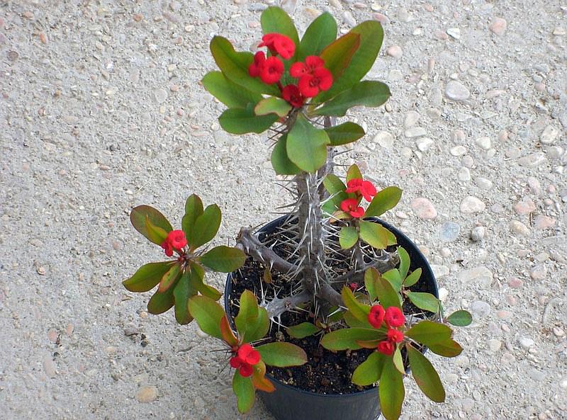 Исусов венец (Euphorbia milii v splendens)...