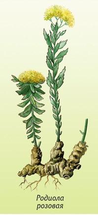 Родиола (Rhodiola rosea)......