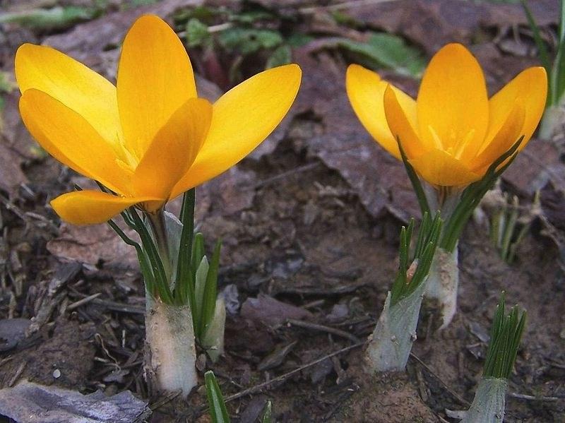 Жълт минзухар (Crocus flavus)...