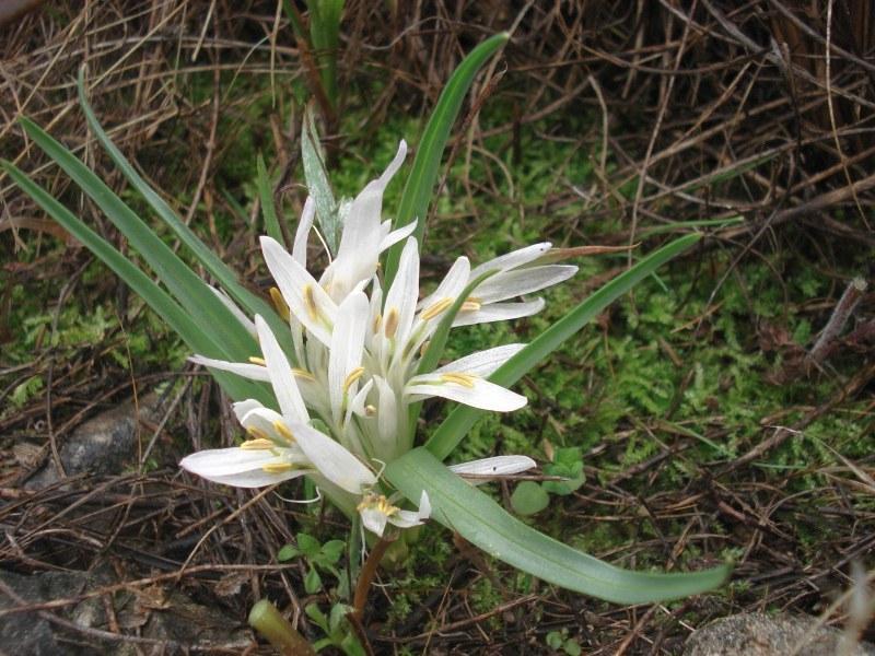 Родопска мерендера (Merendera rhodopaea)...