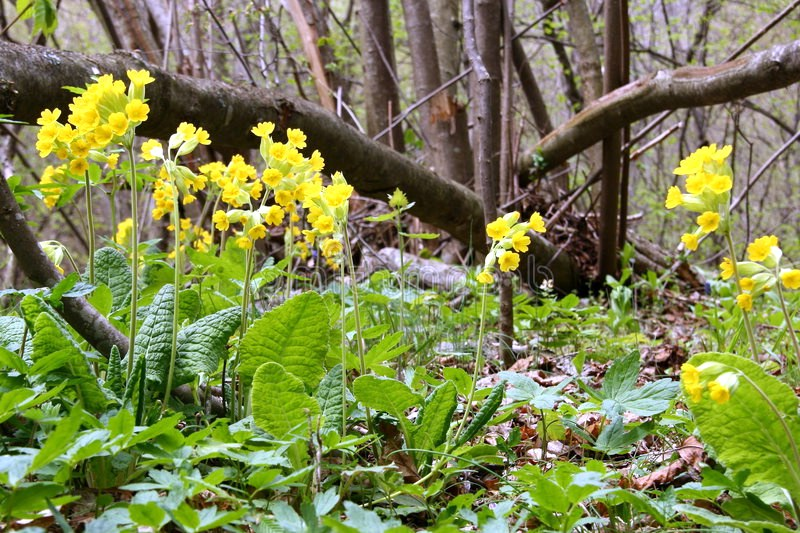 Горска иглика (Primula officinalis)...