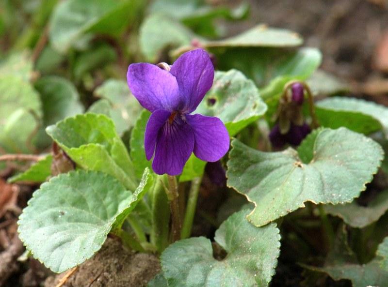 Теменужка (Viola odorata)...