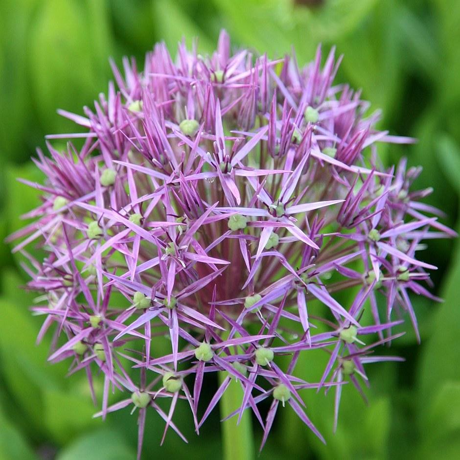 Христов лук (Allium cristophii)...