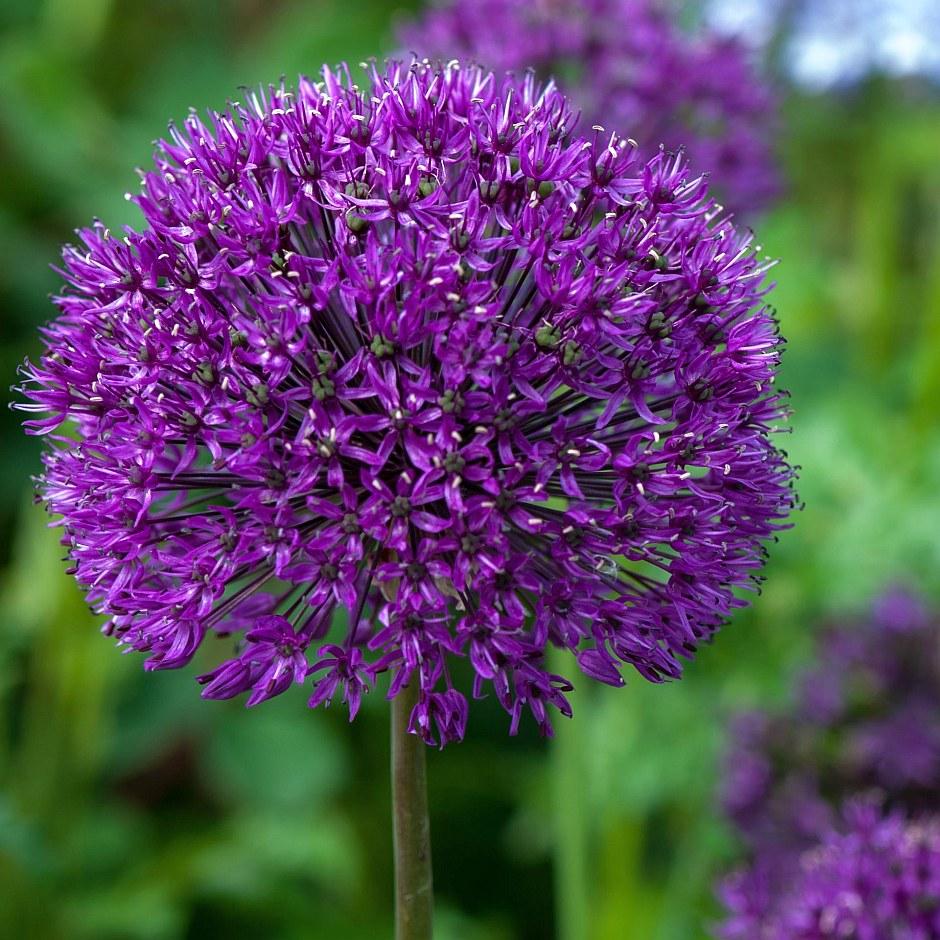 Холандски лук (Allium holladicum)...