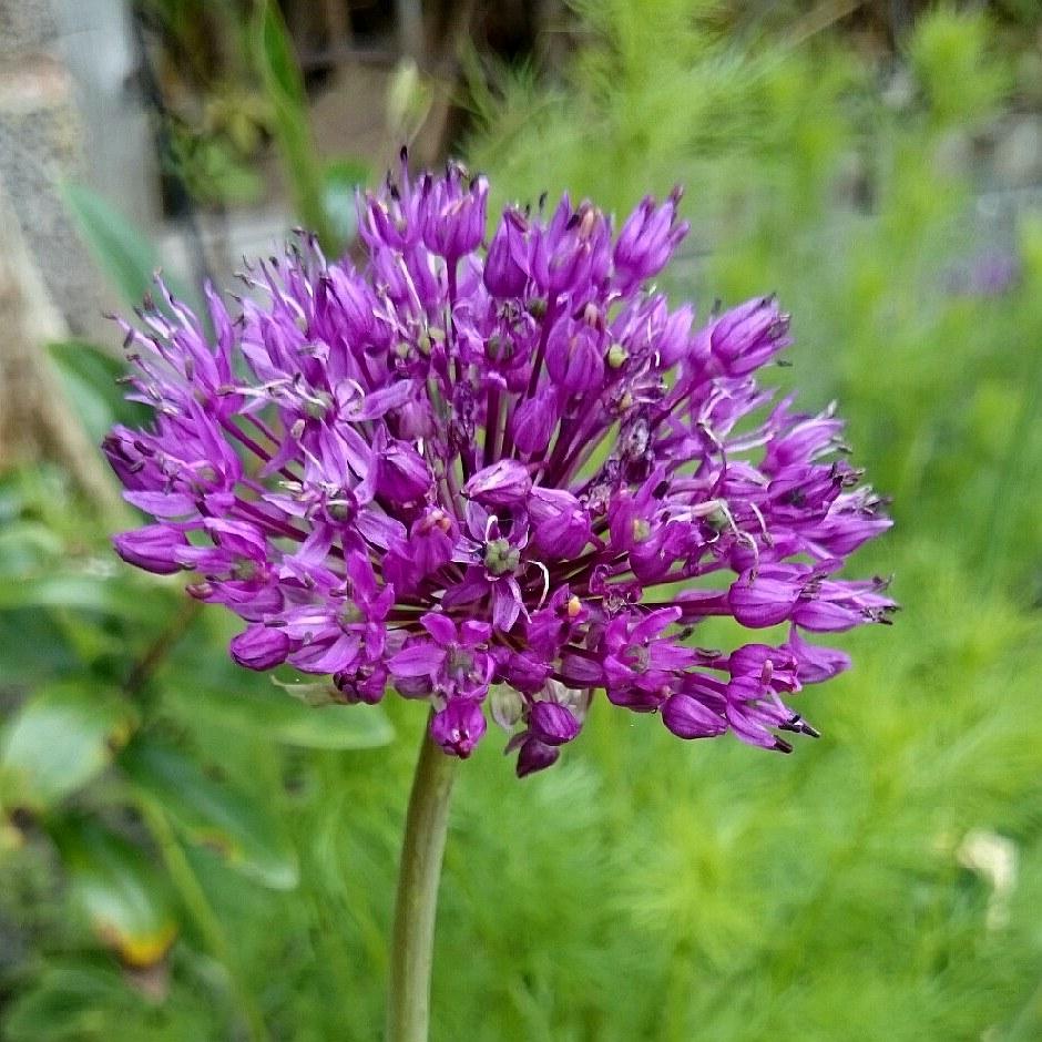 Лук есданиум (Allium jesdianum)...