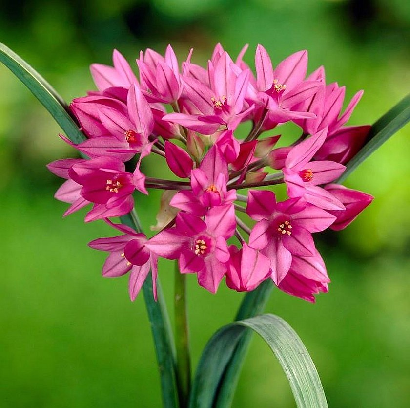 Планинският лук (Allium oreophilum)...
