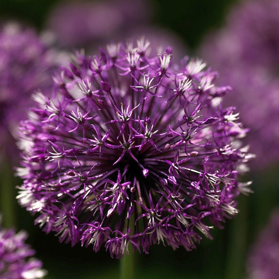 Лук розенбах (Allium rosenbachianum)...
