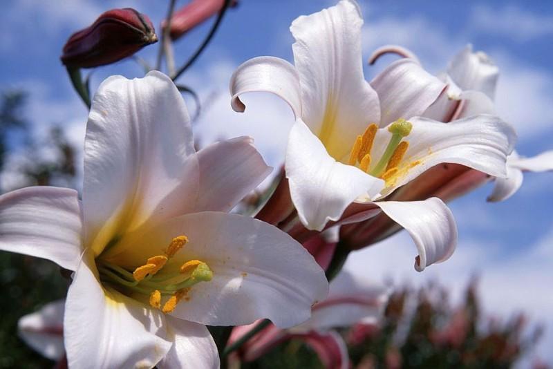 Кралски лилиум (Lilium regale)...