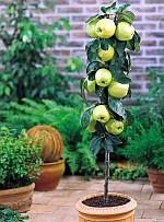 Ябълка Златна превъзходна (Malus Golden Delicious)...
