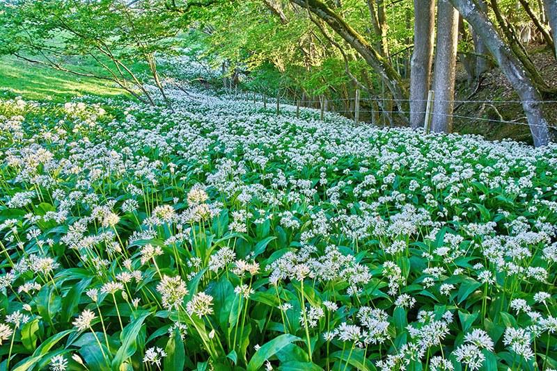 Левурда (Allium ursinum)...