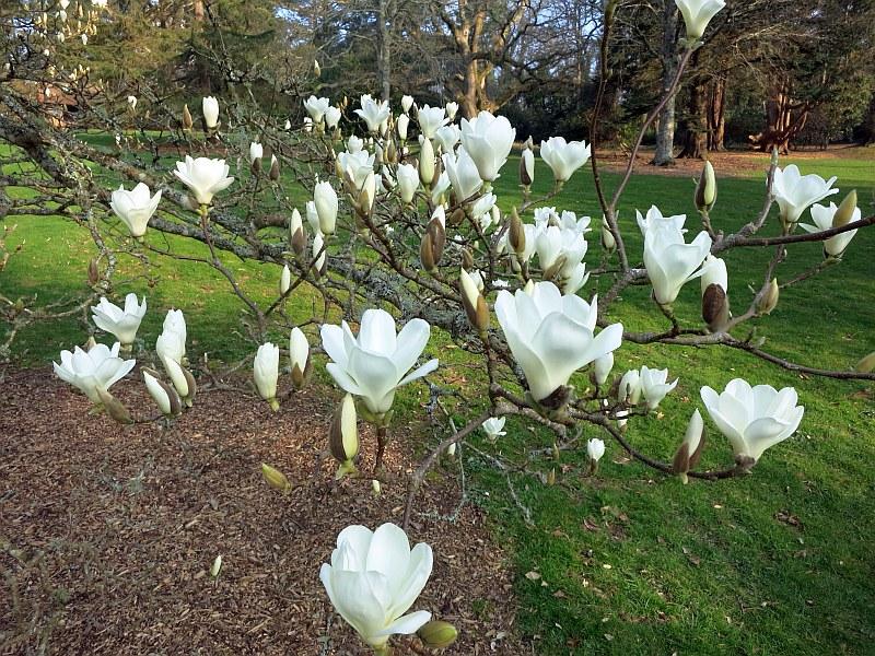 Голата магнолия (Magnolia denudate)...