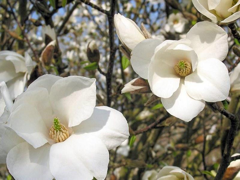 Японската магнолия (Magnolia kobus)...