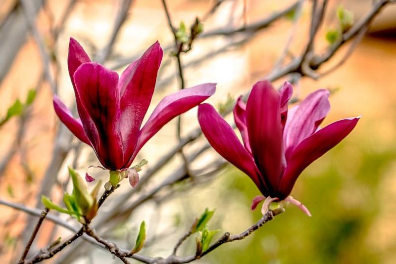 Лилиецветната магнолия (Magnolia lilieflora)...