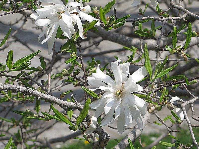 Звездовидната магнолия (Magnolia stellata)...