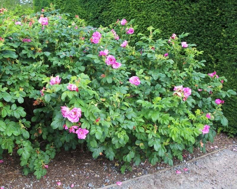 Азиатската шипка (Rosa rugosa)...