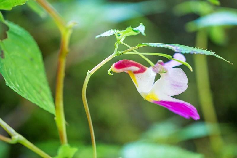 Цвете папагал (Impatiens Psittacina)...