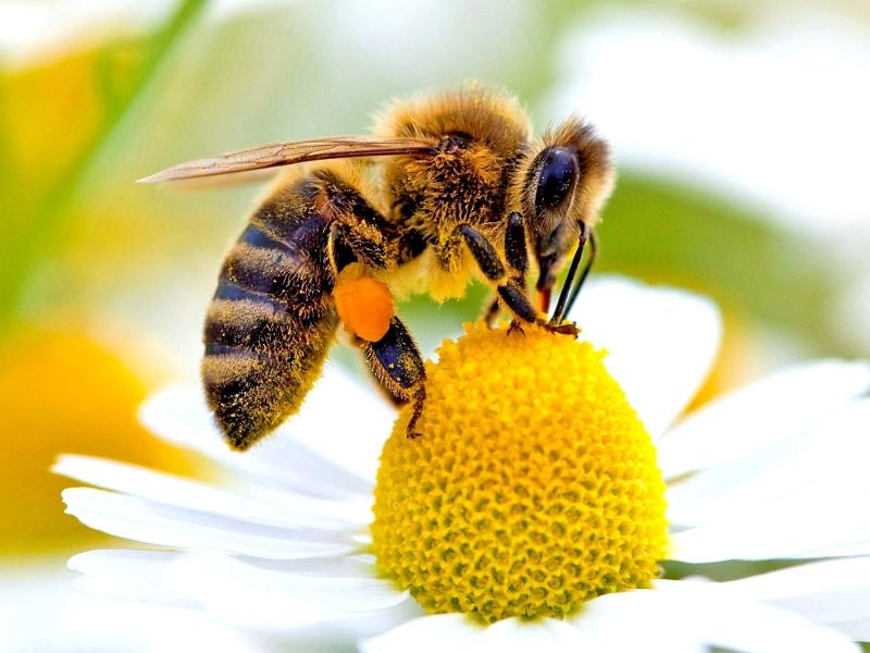 Медоносна пчела (Apis mellifera)...