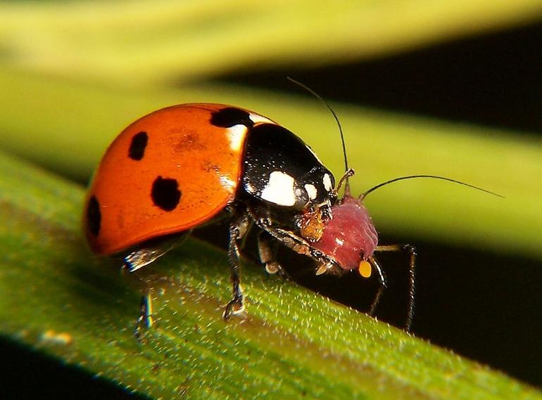 Калинка (Coccinellidae)...