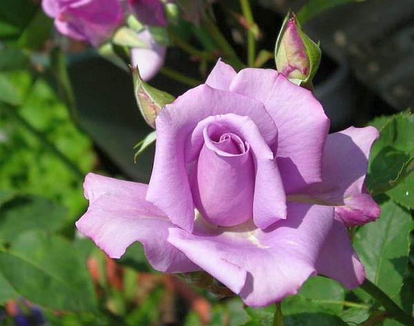 Чаено-хибридна роза (Hybrid-tea rose)...