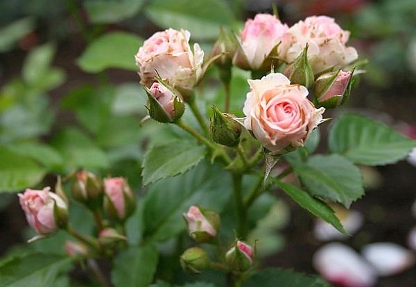 Полиантова роза (Poliant rose)...