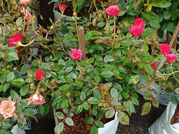 Миниатюрна роза (Rosa chinensis, minima)...