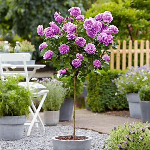 Щамбова роза (Rose tree)...