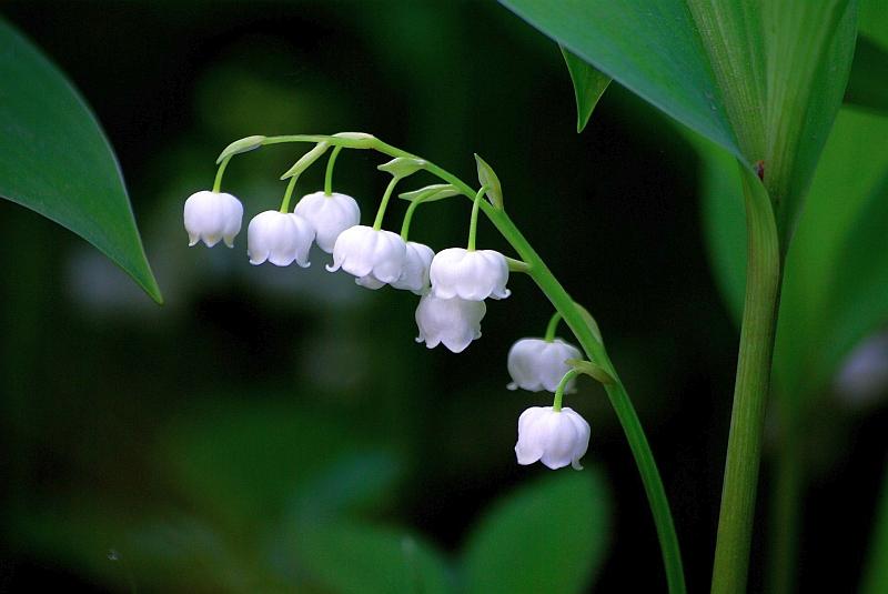 Момина сълза (Convallaria majalis)...